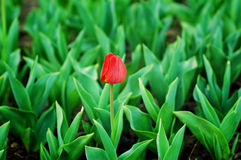 Red tulip stand out Stock Photography