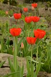 Red tulip stepping stones in rock garden Royalty Free Stock Photography