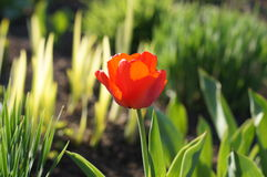 Red tulip in sun shine Stock Photos