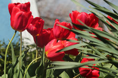 Red Tulip Royalty Free Stock Photos