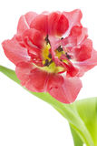 Red tulip (tulipa) on white background Royalty Free Stock Photos