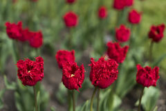 Red tulip. S, close up view Stock Photos
