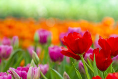 Red of tulip Stock Image