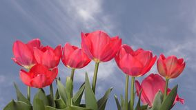 Red tulip under sky. Lined red tulip flowers under blue sky with flowing clouds stock video