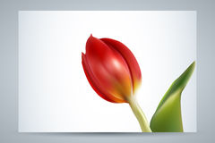 Red tulip (vector) Royalty Free Stock Image