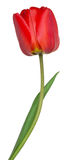 Red tulip on white background Royalty Free Stock Photography