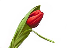 Red tulip. On white background Stock Image