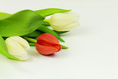 Red tulip. On white background Stock Photography