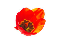 Red tulip on a white background, backlit Royalty Free Stock Photography