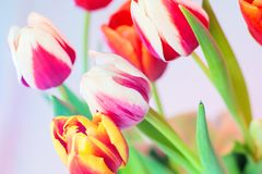 Red tulip with white edging and other colors of pink and yellow, soft focus and small grain. Red tulip with white edging surrounded by other colors of pink and stock photo