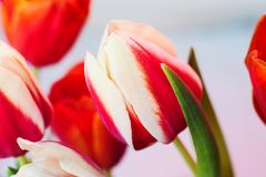 Red tulip with white edging surrounded by other colors, soft focus. And small grain stock photo