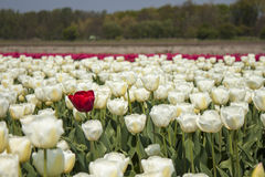 Red tulip in white tulip field Royalty Free Stock Photo