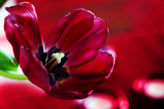 Red tulip with wide open petals against a  blurred red bokeh bac Stock Photography