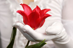 Red Tulip in a Woman Hand Stock Photos