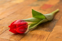 Red tulip on a wooden table Stock Images