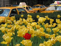 Red tulip & yellow cabs royalty free stock photos