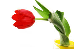 Red tulip in a yellow glass Royalty Free Stock Image