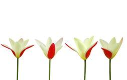 Red tulip among yellow tulips Stock Photo