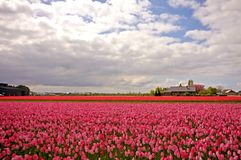 Red tulipfields in the Netherlands Royalty Free Stock Photos