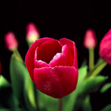Red tulips. On black background Stock Image