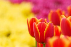 Red tulips. In the garden in the spring in the park during the festival Stock Image