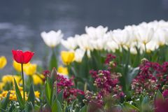 Red tulips. Red and white tulips in the garden in the spring in the park during the festival Stock Photo
