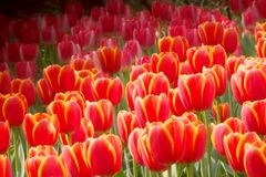 Red tulips. In the garden in the spring in the park during the festival Stock Photography