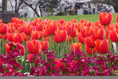 Red tulips. In the garden in the spring in the park during the festival Royalty Free Stock Image