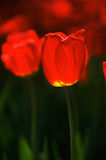 Red tulips. Red tulip flowers are in bloom Stock Photo