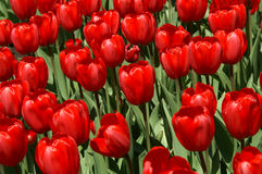 Red Tulips. Blooming in spring Royalty Free Stock Images