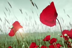 Red tulips. Tulips beautiful nature scene for your design stock image