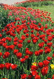 Red tulips. A lot of red tulips Stock Photos
