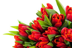 Red tulips. In a corner isolated over white Stock Photography