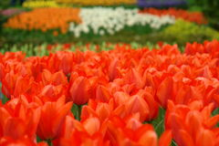 Red tulips. Natural backgrounds: red tulips field Royalty Free Stock Images