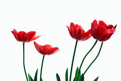 Red Tulips. Row of red tulips isolated on a white background Royalty Free Stock Photo