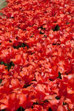 Red Tulips. A photo of a field of red tulips Stock Photography