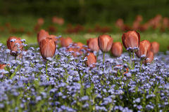 Red tulips. In to a field of blue flower Stock Photo