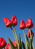 Red Tulips. A photo of red tulips against a blue sky background Stock Photography