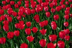 Red tulips. Field in the city park Stock Images