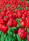 Red tulips. A lot of red tulips Stock Photography