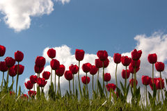 Red tulips. And blue sky Stock Photo