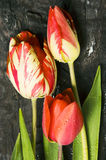 Red tulips. Bunch of red tulips on a wood table Stock Photography