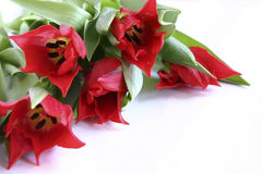 Red tulips. On white background Stock Images