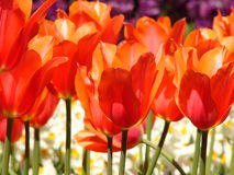 Red tulips. Close-up royalty free stock image
