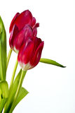 Red tulips. Befor white background Royalty Free Stock Photography