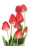 Red tulips. On white background (isolated Stock Image