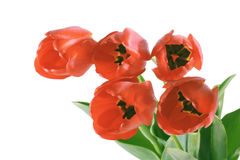 Red tulips. On white background (isolated Royalty Free Stock Images