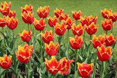 Red tulips. Red tulips in the park Stock Image