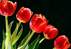 Red Tulips. With a black background Stock Photos