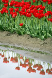 Red tulips. Red tulip field in Skagit Valley Stock Photography
